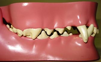tandenhondkat1